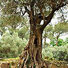 Olive Trees of Italy by Deborah Downes