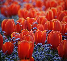 Tulips-on a sea of blue by Tom Davidson