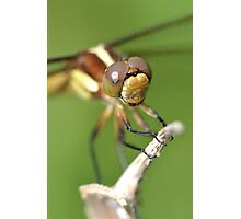 Spangled Skimmer. Photographic Print