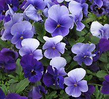Pansy flower bed by StephenRB