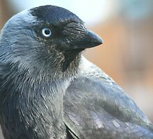 Jackdaw (Corvus monedula) by DutchLumix
