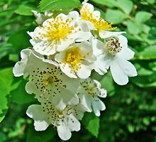 Dog Roses - Rosa multiflora by MotherNature