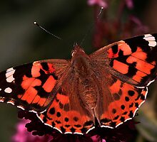 Painted Lady by snapdecisions