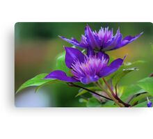 Clematis Blossoms Canvas Print