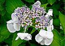 Lacecap Hydrangea by MotherNature