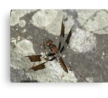 Common Whitetail Dragonfly - Plathemis lydia Canvas Print