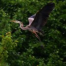 Heron Flight by Anne Smyth