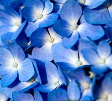 Blue Hydrangea by Jim Haley