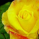 Yellow and Pink 2 by Barry Norton