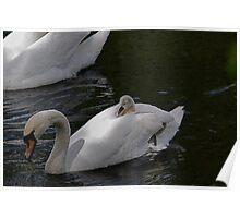 New Family Swan.- more 2 - Piggy Back Poster