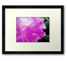 Pink Rhododendron  Framed Print