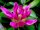 Rhododendron on the Verge  by Marcia Rubin