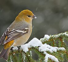 Pine Grosbeak by MIRCEA COSTINA