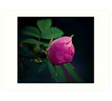 wild rose flower Art Print