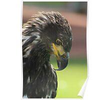 Juvenile Bald Eagle Poster