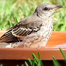 Mockingbird Takes a Bath by Caren