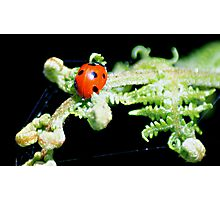 Mrs. Ladybird Photographic Print