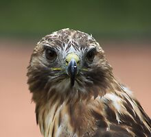"""Red-Tailed Hawk - """"Amanda"""" by Alyce Taylor"""