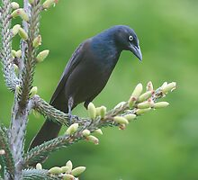 Common Grackle by (Tallow) Dave  Van de Laar