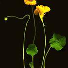 Golden Nasturtium by Barbara Wyeth