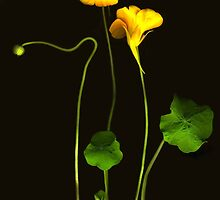 Golden Nasturtium by Barbara Wyeth