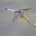 Dragonfly by Bob Hardy