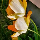 Tulips in Afternoon Light by Elizabeth Bennefeld