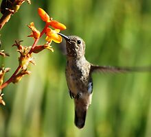 Hummingbird eating by loiteke