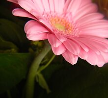glowing pink gerbera by LisaBeth