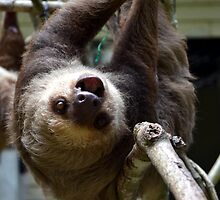 Two Toed Sloth by Sauropod8