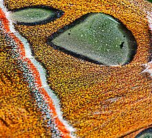 sphynx moth close up by Manon Boily