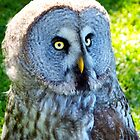 Great Grey Owl II by vivsworld