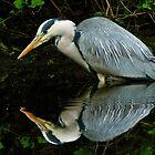 Grey Heron by HJIrvine
