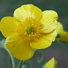 Meadow Buttercup - Ranunculus acris  by Tracy Faught