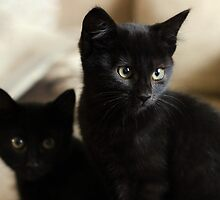 Beautiful Black Kittens by GreyFeatherPhot