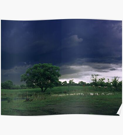 Cows on a pasture. Poster
