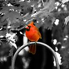 Male Cardinal  by Marcia Rubin