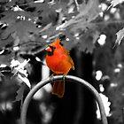 Male Cardinal  by Marcia Rubin