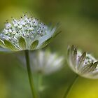 Astrantia by Mandy Disher