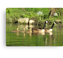 Family swim: Canada geese Canvas Print