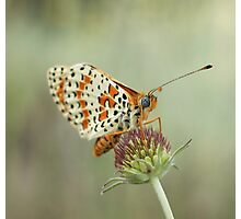 Spotted Fritillary Photographic Print