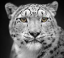 Endangered Snow Leopard by Linsey Williams