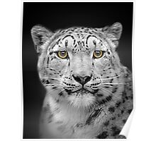 Endangered Snow Leopard Poster