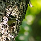 Hairy Woodpecker Chick June 8, 2011 by Robin Clifton