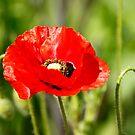 Red Poppy by Martina Fagan