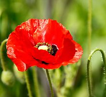 Red Poppy by Martina Fagan