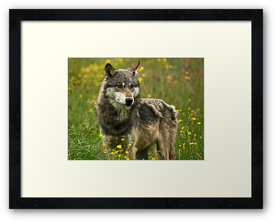 Wolf in Springtime by Mark Hughes