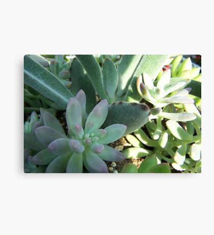 Looking Soft,  But Tough Canvas Print