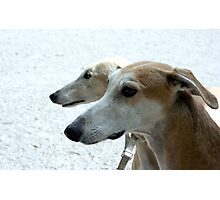 Profiles of the Spanish greyhounds Photographic Print