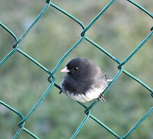male (slate-colored) Dark-eyed Junco by gallowaygal
